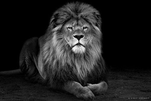 Лев рисунки черно белые